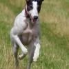 Greyhound Running Free