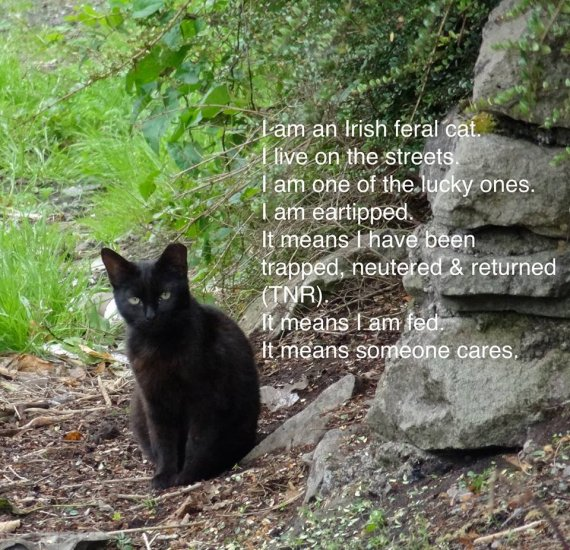 FCI I am an Irish feral cat