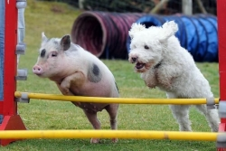Barcroft Fame Pictures - agility trials