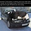 Heat seeking cows